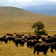 Ngorongoro crater july 2014 buffalo