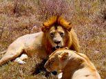 Ngorongoro crater july 2014 buffalo lions