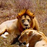 Ngorongoro crater july 2014 buffalo lions