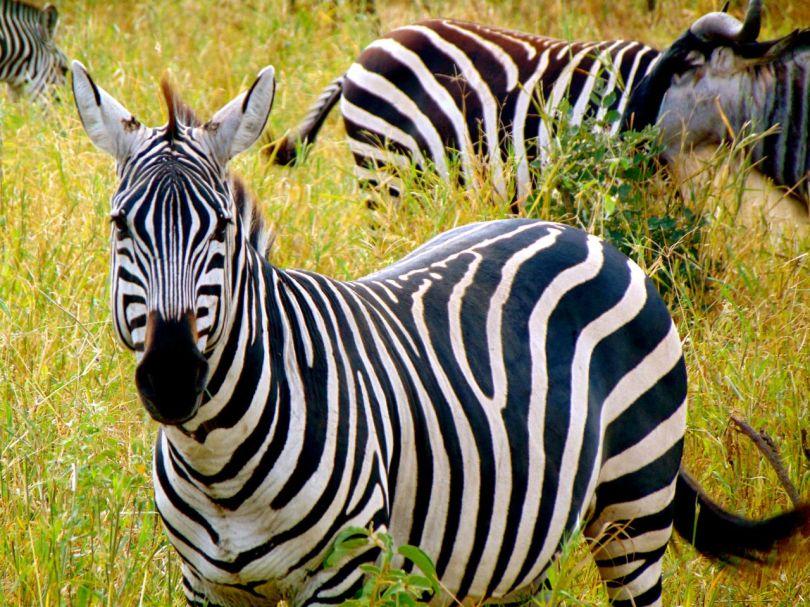Ngorongoro crater july 2014 zebras