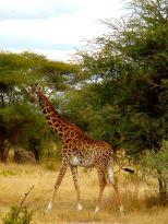 Ngorongoro crater july 2014 giraf