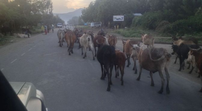 Ethiopia cows on the road to mekele