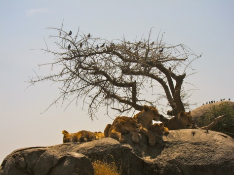 Serengeti, Tanzania, Africa, Lions rest on rock, august