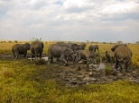 Elephants bating to cool down