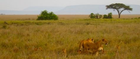 Lion cubs serengeti Tanzania africa