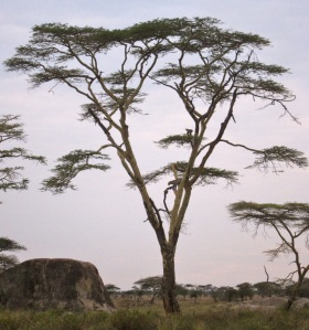 Leopard hunted up into tree by lion, Serengeti, Tanzania, Africa August 2014