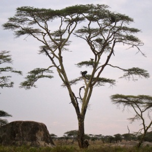 Serengeti, Tanzania, Leopard Dies, August 2014