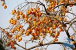 Fruittree - with quite bitter fruits