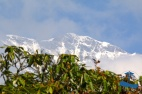The famous Himalayan Rhododendron Incredible Rukum Mountain range (Dhaulagiri)