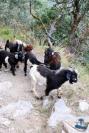 Himalayan Goats