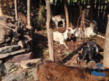 Rukum goats #2
