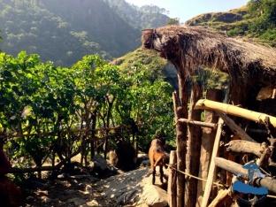 Rukum goats #3